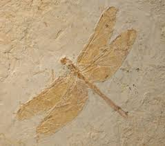 A fossil of a dragonfly